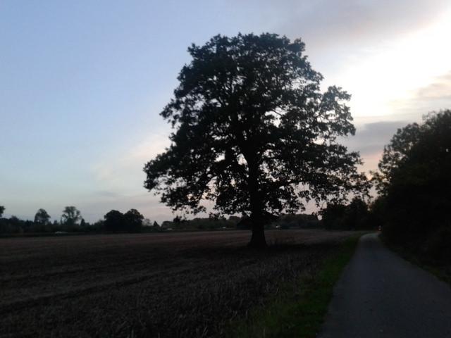 York tree